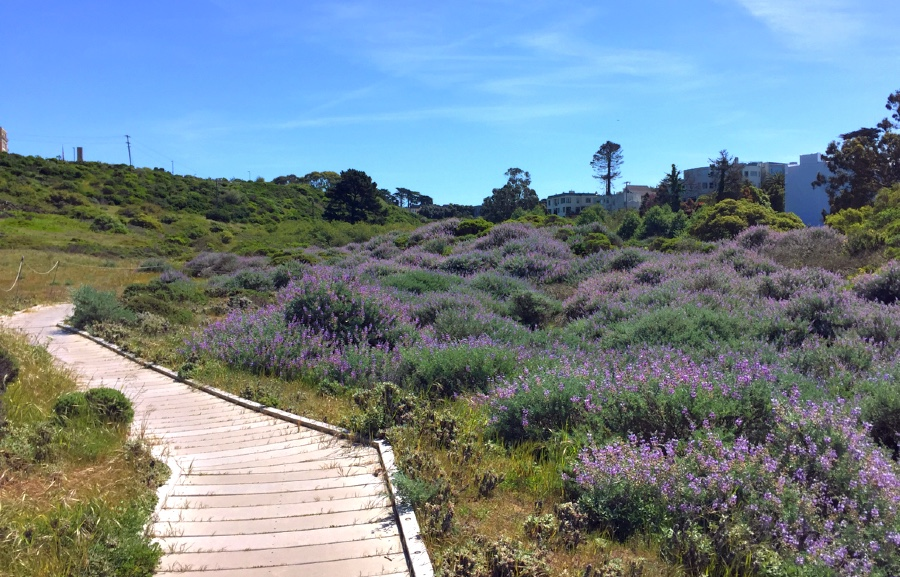 Purple Lupine in bloom at the Lobos Creek Valley Trail, one of the trails in this Presidio Hiking Trail Loop