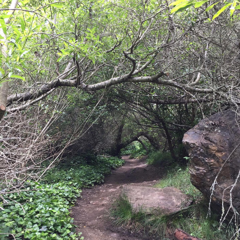 Parts of the Glen Canyon Park hiking trails go through tunnels of Bay Trees