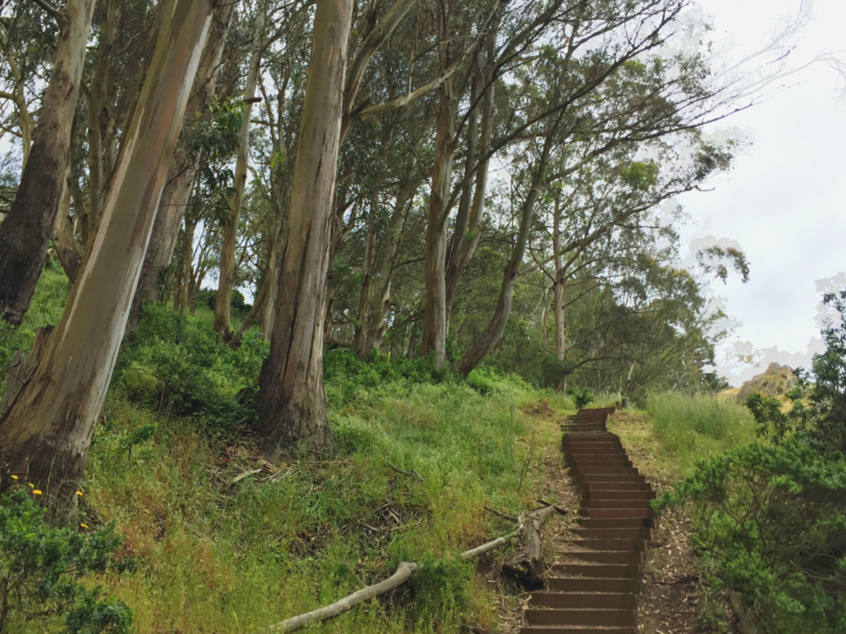 Stairs leading through an Eucalyptus Grove in Glen Canyon Park.