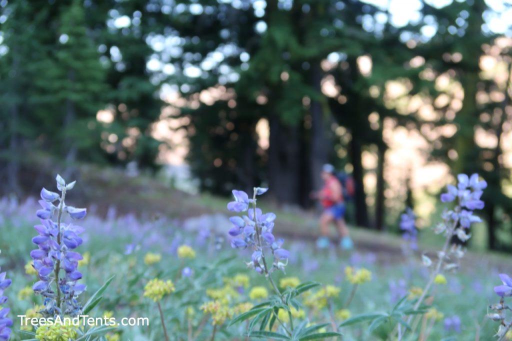 Lupine flowers in bloom